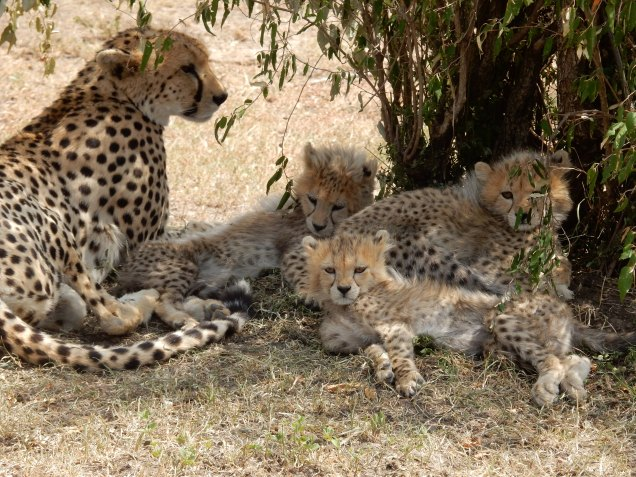 BLOG cheetah family chilling