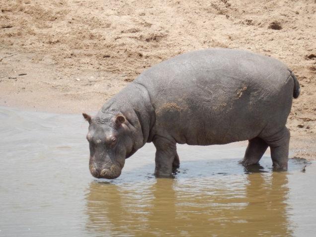 BLOG hippo