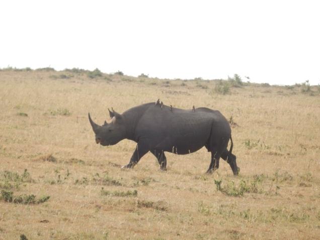 BLOG rhino