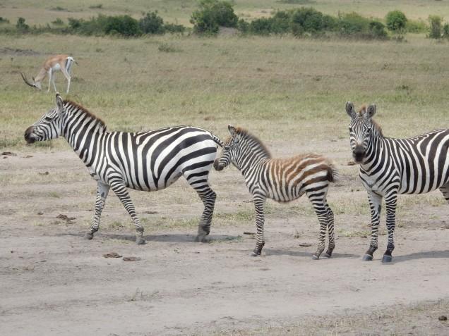 BLOG zebras 2